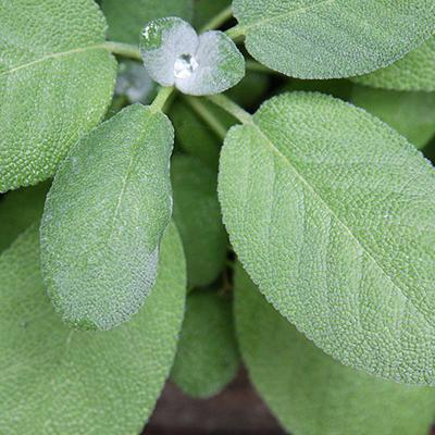 Foto einer Salbeipflanze.